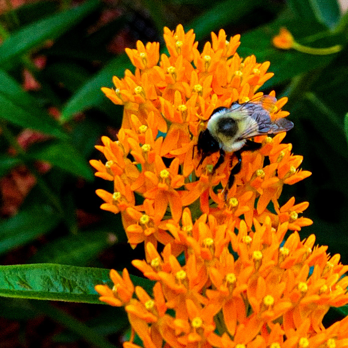 Bumblebee on flowers of butterfly weed